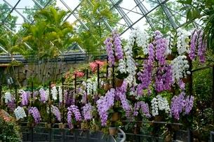 とっとり花回廊,フラワド-ム室内の花の写真素材 [FYI01547540]