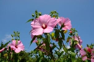 蒜山高原,芙蓉の花の写真素材 [FYI01547936]