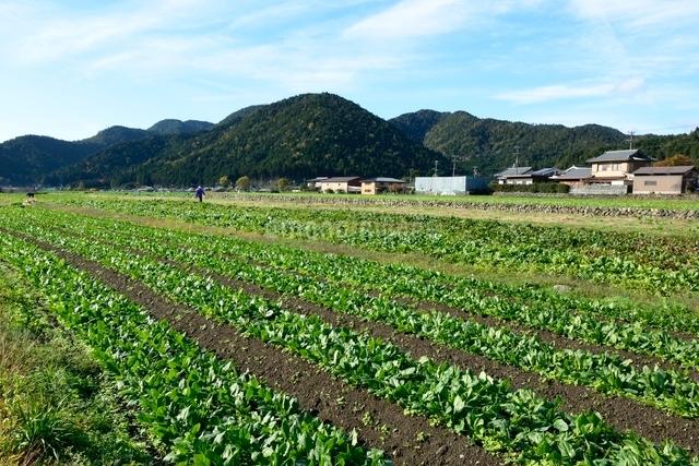 京都,大原の里野菜畑の写真素材 [FYI01548078]
