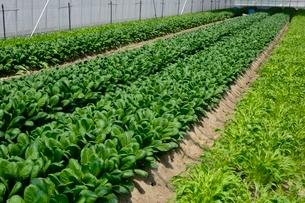 果物 温室ミズ菜と小松菜栽培の写真素材 [FYI01548262]