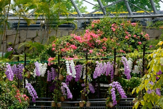 とっとり花回廊,フラワド-ム室内の花の写真素材 [FYI01548414]