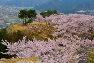 桜咲く竹田城跡 三の丸北千畳の写真素材 [FYI01548489]