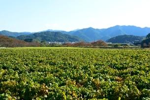 黒豆栽培の写真素材 [FYI01548498]