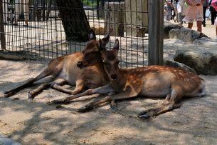 夏の宮島シカの昼寝の写真素材 [FYI01548620]