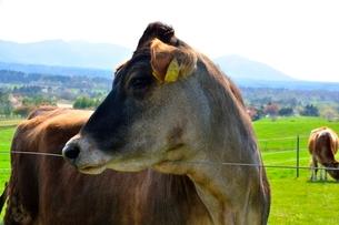 新緑,蒜山高原ジャージ牛の写真素材 [FYI01548627]
