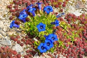 新緑 六甲高山植物園 ゲンチアナアコーリスの写真素材 [FYI01548641]