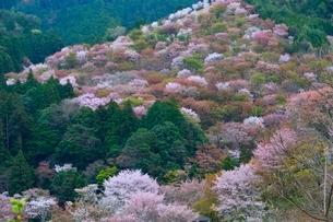 吉野山 桜満開の中千本の写真素材 [FYI01548850]