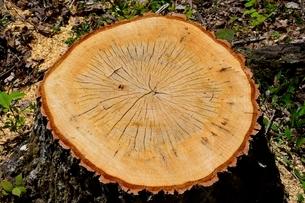 たじま,樫の木を閥採の写真素材 [FYI01548956]