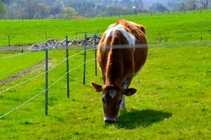 新緑,蒜山高原ジャージ牛の写真素材 [FYI01549032]