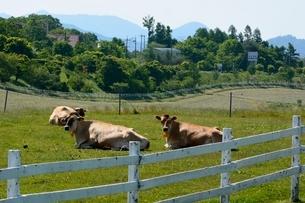 新緑,蒜山高原ジャージー牛の放牧の写真素材 [FYI01549245]
