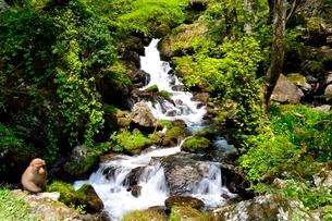 新緑,神庭の滝自然公園,ニホンザルの写真素材 [FYI01549476]