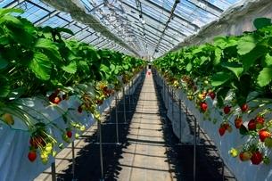 淡路,ハウスでイチゴ栽培の写真素材 [FYI01549586]