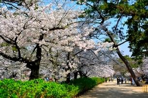 夙川公園,満開の桜の写真素材 [FYI01549591]