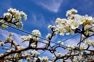 滋賀,ナシ園,豊水の花の写真素材 [FYI01549663]