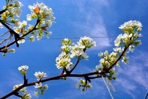 滋賀,ナシ園,豊水の花の写真素材 [FYI01549784]