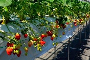 淡路,ハウスでイチゴ栽培の写真素材 [FYI01549853]