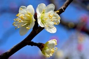 梅の花,冬至の写真素材 [FYI01549869]