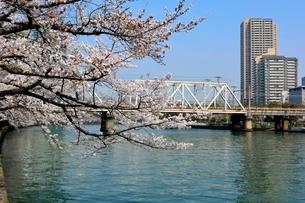 満開の桜と毛馬桜ノ宮大川からのビル街の写真素材 [FYI01550106]