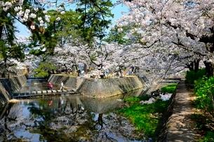夙川公園,満開の桜の写真素材 [FYI01550156]