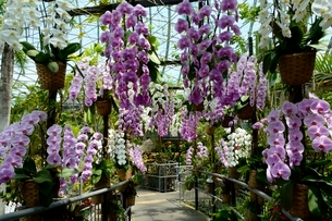 とっとり花回廊,フラワド-ム室内の花の写真素材 [FYI01550323]