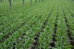 ハウスで菊菜の栽培の写真素材 [FYI01550382]