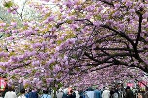 大阪造幣局 桜の通り抜け 紅華の写真素材 [FYI01550424]
