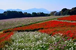 あわじ花さじき,癒しの花園,コスモスの写真素材 [FYI01550452]