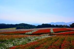 あわじ花さじき,癒しの花園,コスモスの写真素材 [FYI01550492]
