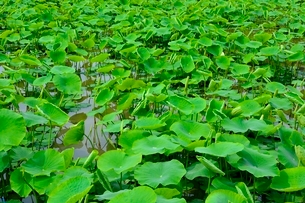 レンコンの収穫前の写真素材 [FYI01550505]