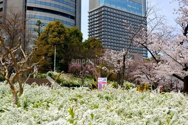 満開の桜,毛馬桜ノ宮公園とビル街の写真素材 [FYI01550536]