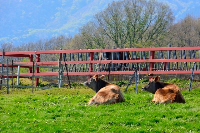 新緑,蒜山高原ジャージ牛の写真素材 [FYI01550579]