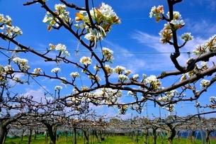 滋賀,ナシ園,豊水の花の写真素材 [FYI01550615]