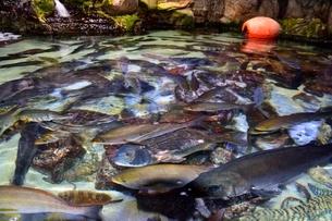 鳥羽水族館の魚の写真素材 [FYI01550637]