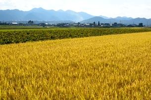 米,コシヒカリと黒豆の栽培の写真素材 [FYI01550653]