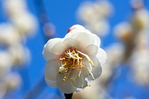 大阪城梅林公園 冬至の写真素材 [FYI01550715]