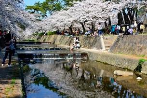 夙川公園,満開の桜の写真素材 [FYI01550740]