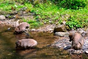 新緑,神庭の滝自然公園,ニホンザルの写真素材 [FYI01550840]