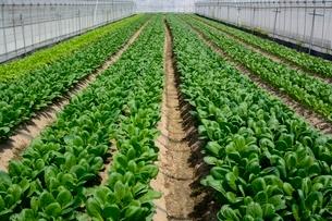 果物 温室ミズ菜と小松菜栽培の写真素材 [FYI01550987]