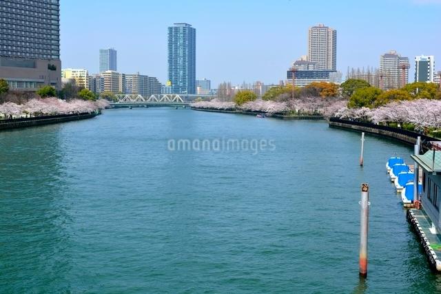満開の桜,毛馬桜ノ宮公園と大川からのビル街の写真素材 [FYI01551161]