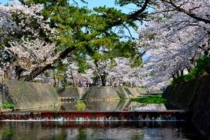 夙川公園,満開の桜の写真素材 [FYI01551180]