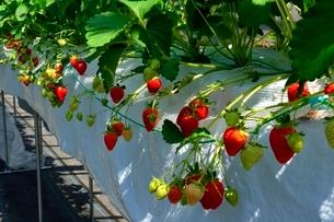 淡路,ハウスでイチゴ栽培の写真素材 [FYI01551246]