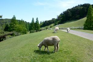 神戸市立六甲山牧場・羊の放牧の写真素材 [FYI01551372]
