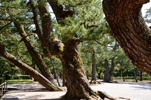 出雲大社 樹齢1000年の写真素材 [FYI01551435]