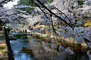 夙川公園,満開の桜の写真素材 [FYI01551503]