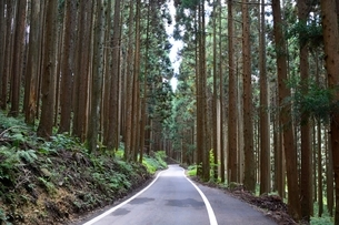 県道脇に林立する杉の木の写真素材 [FYI01551526]