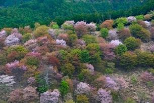 吉野山 桜満開の中千本の写真素材 [FYI01551581]