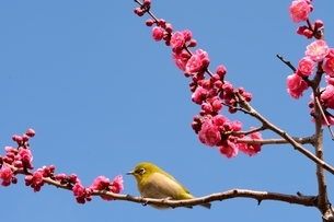 甲東梅林 梅の花にメジロが枝に留まているの写真素材 [FYI01551584]