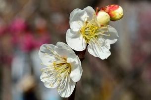 梅の花,冬至の写真素材 [FYI01551604]