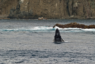 小笠原諸島 ザトウクジラのスパイホップの写真素材 [FYI01551965]