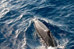 小笠原諸島 光るイルカの背中の写真素材 [FYI01552176]